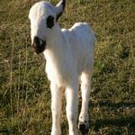 Bessó blanc fill de la Taca - L'hort i el Corral Turisme Rural casa l'hereu